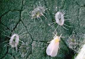 Think already Adult whitefly control opinion
